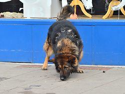 © Licensed to London News Pictures. 11/10/2015. London, UK. A police sniffer dog at The scene outside the RE bar' in Field End Road, Eastcote, Hillingdon where a man was stabbed to death early this morning (SUN). The victim is belived to be  21-year-old Josh Hanson from Kingsbury.  Photo credit: Ben Cawthra/LNP