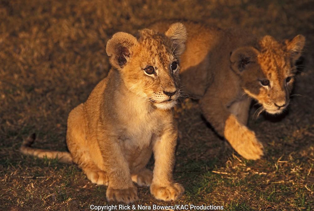 Lion<br /> Panthera leo<br /> Wild Wilderness, Gentry, Arkansas, United States<br /> November    Juvenile      Felidae
