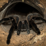 Tarantulas comprise a group of large and often hairy arachnids belonging to the Theraphosidae family of spiders, of which approximately 900 species have been identified.