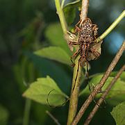 Male Pharsalia subgemmata. Longhorn Cerambycidae beetle in Khao Yai National Park, Thailand.