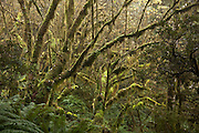 Beech Forest, Routeburn Track, Fiordland, New Zealand