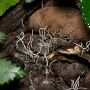 A Flask fungi of the Xylaria sp. in Thailand.