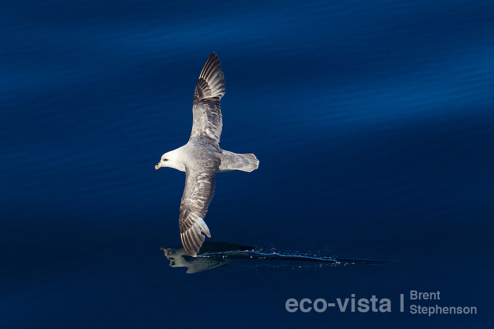 A Northern fulmar (Fulmarus glacialis) glides over the surface of a calm deep blue sea in the Arctic, its wingtip just skimming the surface. Off Isfjorden, Svalbard, North Atlantic. June.