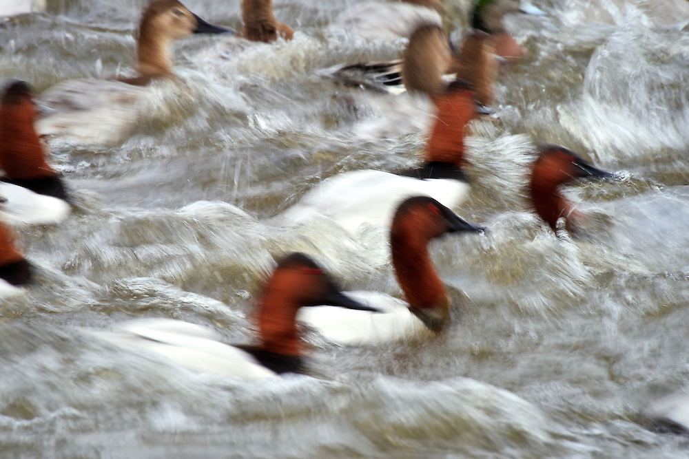 Long exposure of a startled flock of canvasbacks (Aythya valisineria) fleeing towards deeper water, Choptank River, Cambridge, Maryland