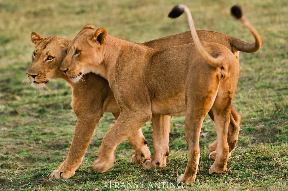 Lionesses greeting, Luangwa Valley, Zambia