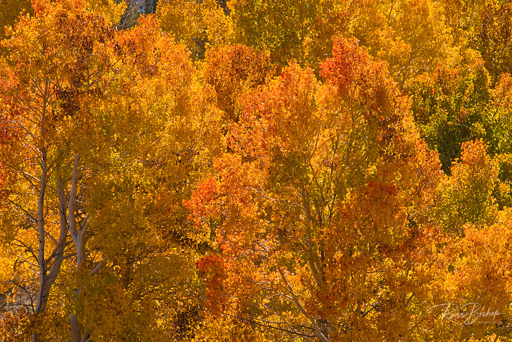 Golden fall aspens in Lundy Canyon, Toiyabe National Forest, Sierra Nevada Mountains, California