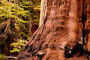Humungous base of a Giant Sequoia Tree in Sequoia National Park, California.