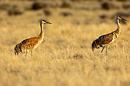 Sandhill Cranes (Grus canadensis), Red Rock Lakes National Wildlife Refuge, Montana