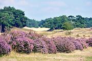 Nederland, Lunteren, 11-9-2015 Natuurgebied Het Wekeromse Zand. Een natuurgebied bij Wekerom in de provincie Gelderland. Een gebied met zandverstuivingen, vliegdennen en heide. Een voedingsarme zandgrond. Zij ligt aan de rand van de Veluwe, de veluwezoom. Er groeit struikheide die in augustus en september prachtig paars bloeit. Foto: Flip Franssen/HH