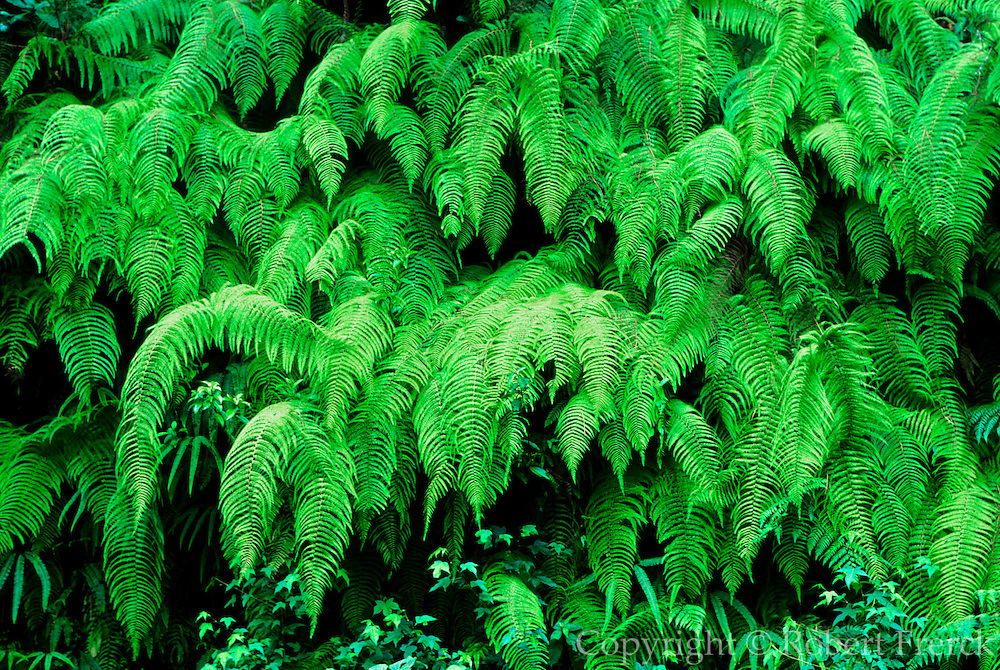 MEXICO, GULF COAST, VERACRUZ STATE A wall of ferns indicates the tropical jungle found in the coastal mountains near Jalapa (Xalapa)