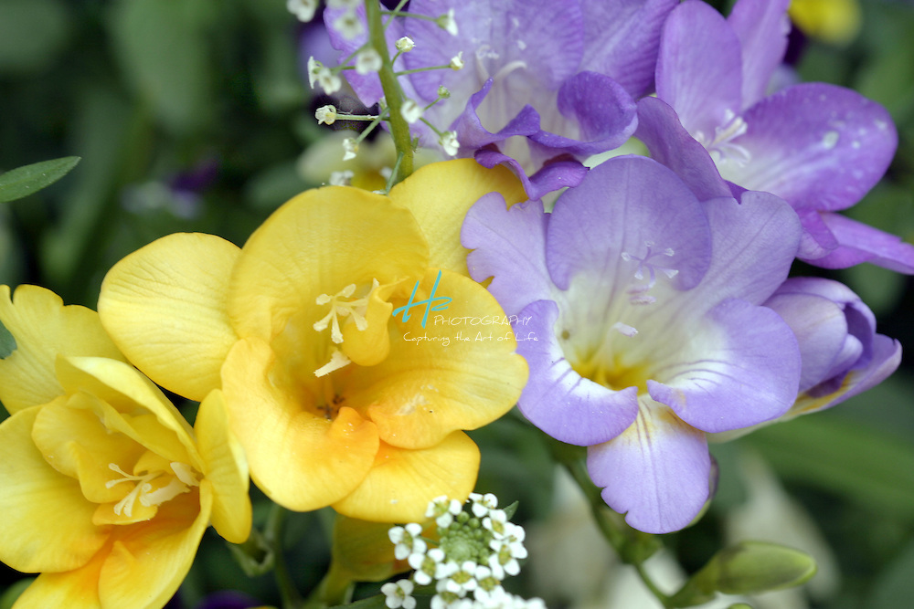 Subject: Freesia (Iridaceae).Habitat:  Introduced from South Africa.Location:  Santa Barbara, CA.Magnification:  1/3X.