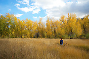 A woman walks through a birch forest in the autumn.  Fall colors.  Cache Creek, BC, Canada.  In the Okanagan - Caribou Region