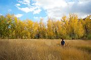 A woman walks through a birch forest in the autumn.  Fall colors.  Cache Creek, BC, Canada.  In the Okanagan - Caribou Region