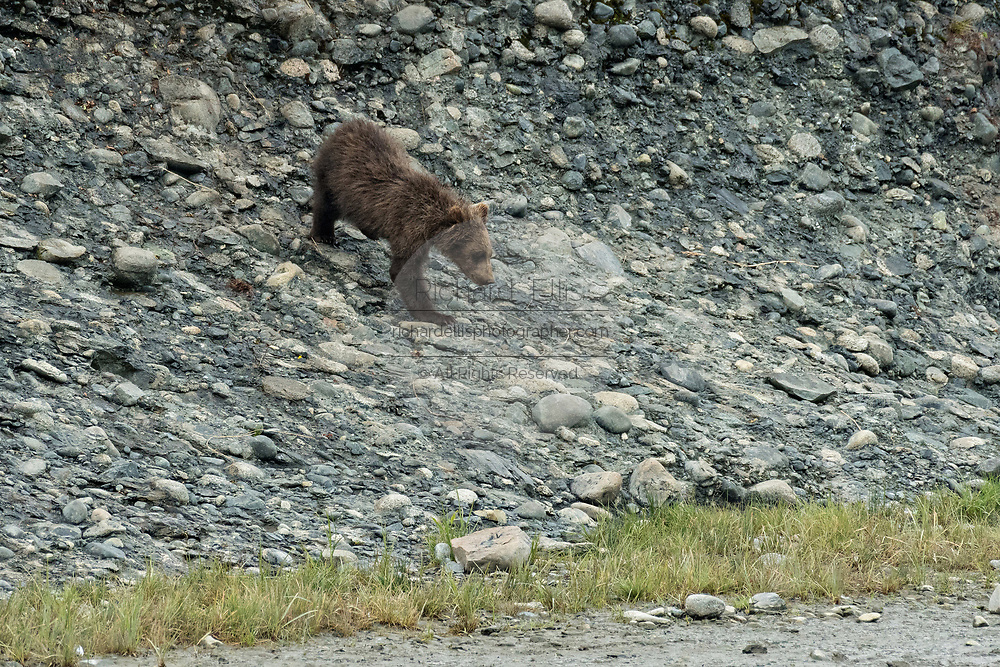 A Brown bear spring cub climbs down a bluff along the lower lagoon at the McNeil River State Game Sanctuary on the Kenai Peninsula, Alaska. The remote site is accessed only with a special permit and is the world's largest seasonal population of brown bears in their natural environment.