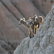 Badlands_Bighorn_Sheep