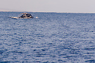 Humpback Whale Breaching 7 of 9