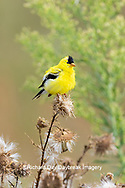 01640-16417 American Goldfinch (Spinus tristis) male eating seeds at thistle plant Marion Co. IL