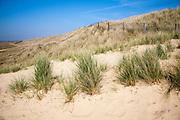 Marram grass growing on landward side of sand dunes, Horsey, Norfolk, England