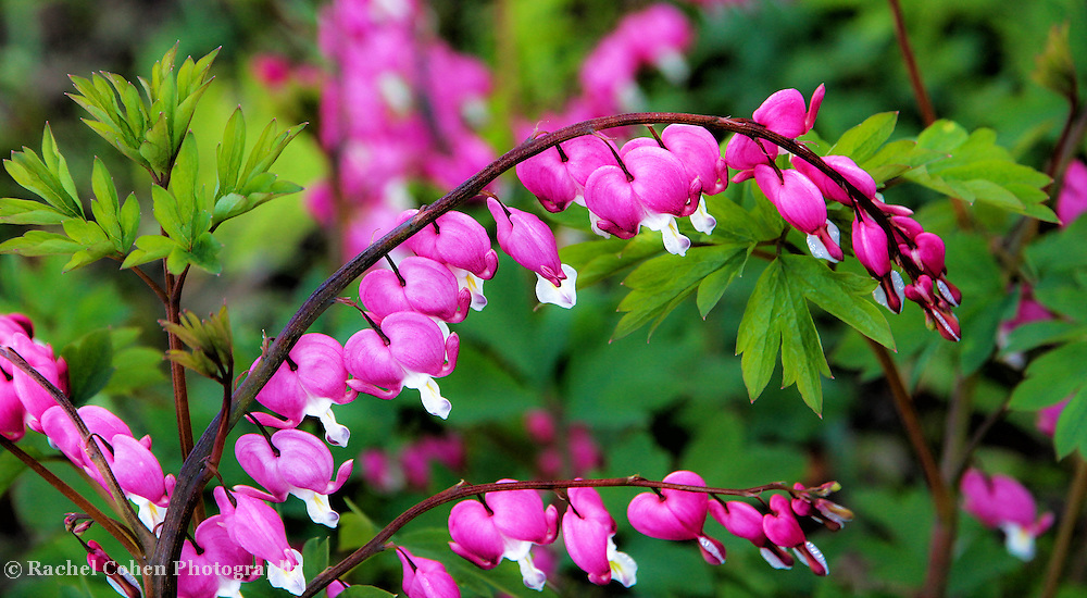 &quot;Cascade of Love&quot;<br /> <br /> The beautiful Bleeding Heart. A wonderful cascade of pink and white hearts surrounded by lovely green foliage!!<br /> <br /> Flowers by Rachel Cohen