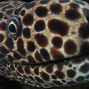An enormous honeycomb moral eel (Gymnothorax favagineus) with a strong sense of curiosity