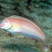 Pearly Razorfish inhabit shallow areas of sand and coral rubble in Tropical West Atlantic; picture taken Venezuela.