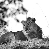 Black and white male lion