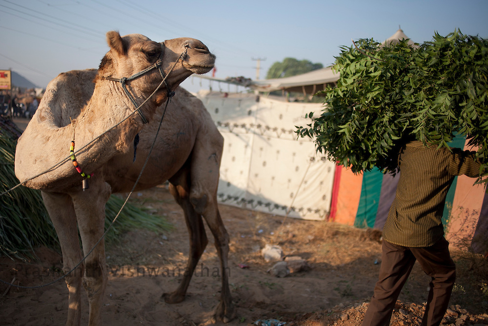 A camel tries to steal some leaves off a grss cutter trying to find customers at the fair grounds in Pushkar, India, November 6, 2011.  Photographer: Prashanth Vishwanathan