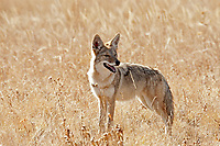 Coyote crosses an open meadow something has caught its attention.