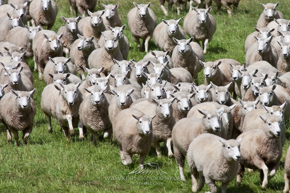 Sheep, Southland, New Zealand