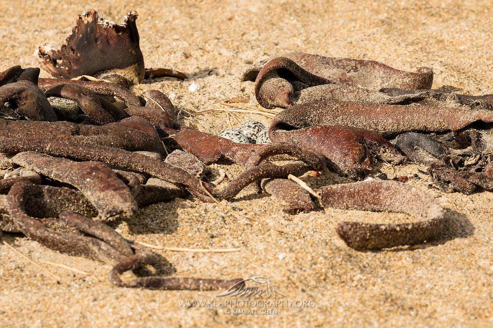Variable Oystercatcher eggs hidden amongst dry kelp along the beach, Catlins, South Island, New Zealand