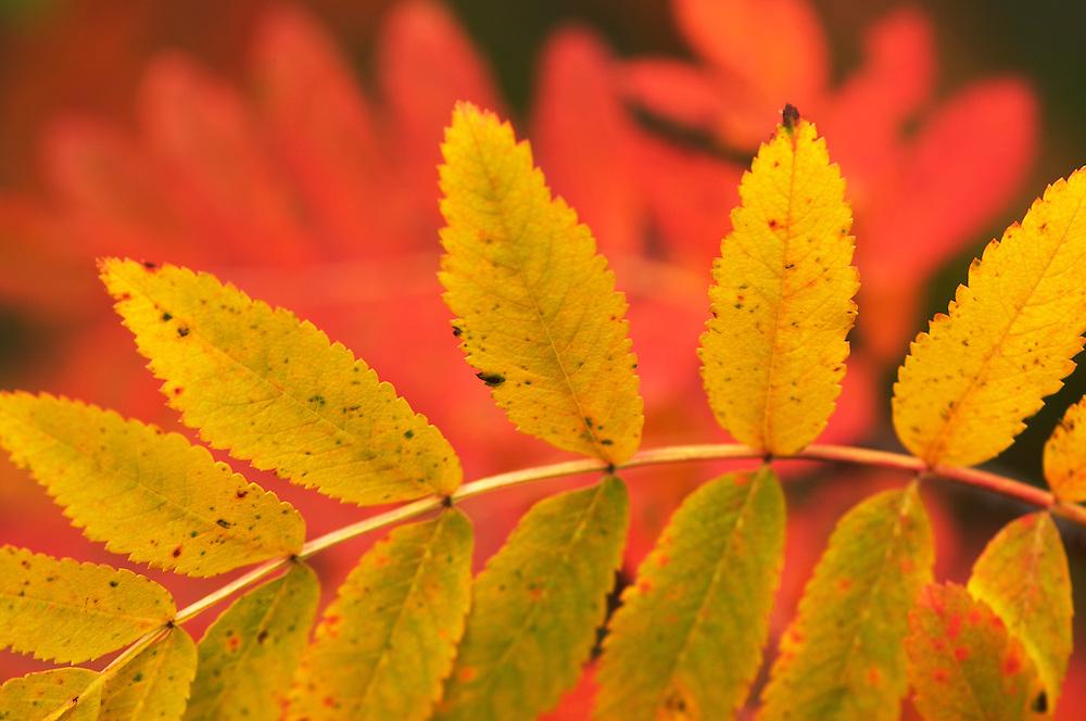 Rowan, Sorbus aucuparia, Lapland, Sweden