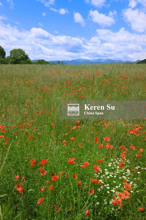 Poppies on the meadow, Olot, la Garrotxa, Spain