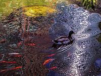 Duck Koi Pond