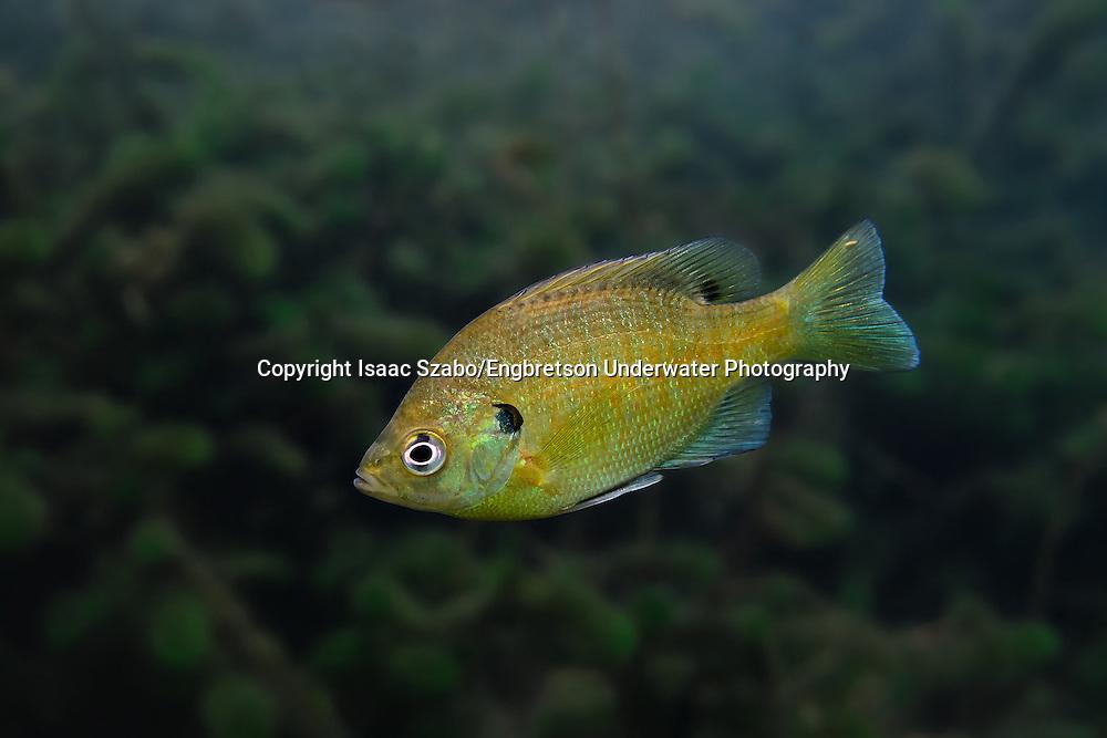 Bluegill<br /> <br /> Isaac Szabo/Engbretson Underwater Photography