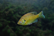 Bluegill<br />