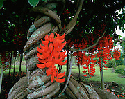 Red Jade Vine, Island of Hawaii, Hawaii, USA<br />