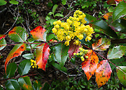 Oregon Grape (Mahonia aquifolium, Berberidaceae) blooms with yellow flower along Ingalls Creek Trail, in Wenatchee National Forest, between Leavenworth and Blewett Pass, in Washington, USA.