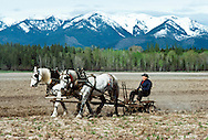 Draft Horse farming with Percheron Team and teamster, Mission Mountains, Montana<br /> MODEL RELEASED