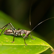 A Phaneropterinae nymph mimicking an ant for protection - its mimicry includes visual and well as motion to mimic an ant. The Phaneropterinae are a subfamily of bush crickets or katydids belonging to the family Tettigoniidae