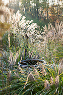 Pennisetum 'Moudry' around urn with Dipsacus fullonum (teasel) and Miscanthus cvs