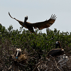 A Brown Pelican lands onto Cat Island off the coast of Louisiana on Thursday, June 17 2010. Oil from the Deepwater Horizon spill continues to impact areas across the coast of gulf states.