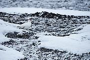 Svalbard Rock Ptarmigan<br /> (Lagopus muta hyperborea)<br /> Svalbard<br /> Norway<br /> Arctic Ocean