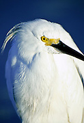 Portrait of a Snowy Egret at Fort Myers Beach, Florida