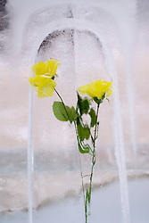 Yellow flower frozen in block of ice at annual snow sculpture festival in Sapporo Japan