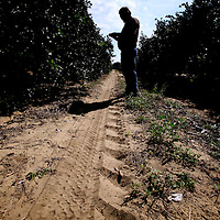 LAKE WALES, FL -- October 13, 2010 -- Citrus grower Marty McKenna checks orange trees for disease in one of his orange groves in Lake Wales, Fla., on Wednesday, October 13, 2010.  The housing bust left orange groves - which were scooped up by investors - unattended, overgrown and full with disease.  That disease is spreading to healthy, adjacent fields - leaving citrus growers scrambling to replant lost production.  ..ORANGES