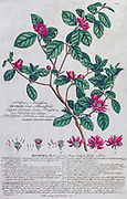 Engraving, hand-colored print of plants and butterflies from Plantae et papiliones rariores (rare plants and butterflies) by Ehret, Georg Dionysius, 1708-1770 Published in London in 1748