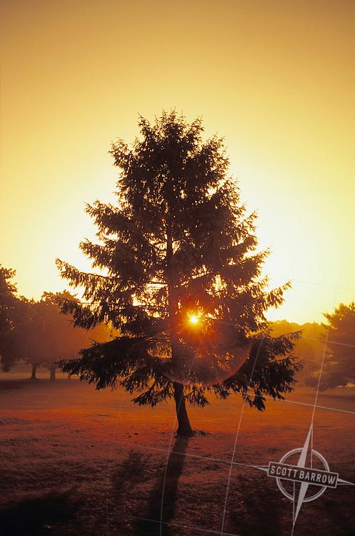 Sun shining through Conifer tree