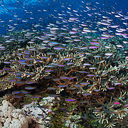 Fusilier damselfish (Lepidozygus tapeinosoma) swarming over large staghorn coral (Acropora sp.) formation at Carl's Ultimate dive site in the Eastern Fields of Papua New Guinea.