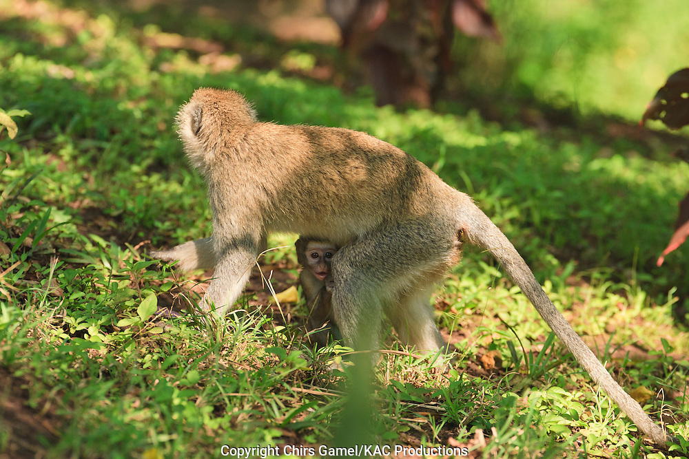 Female vervet monkey with infant hiding under her.