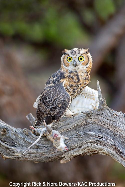 Great Horned Owl <br /> Bubo virginianus<br /> Tucson, Arizona, United States<br /> 22 July          Immature with White-throated Woodrat (Neotoma albigula).      Strigidae